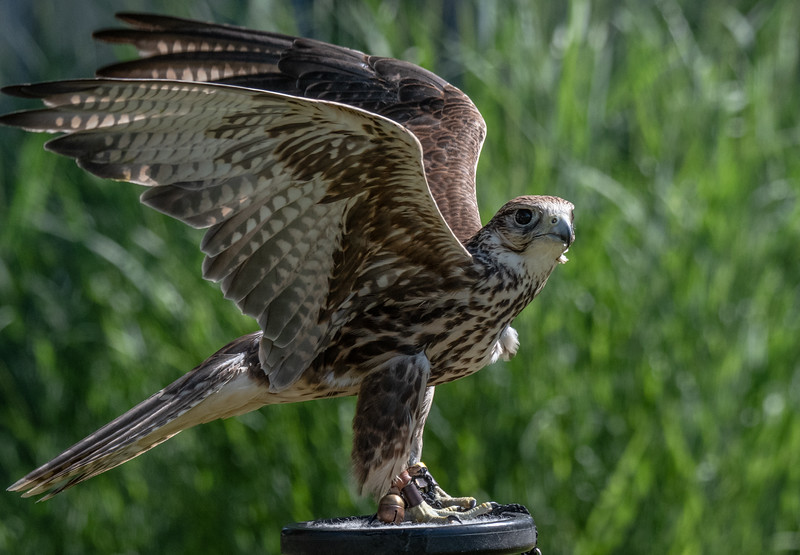 Saker Falcon wings up