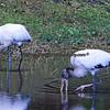 Wood Storks feeding.