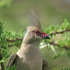 Urocolius macrourus-Blue naped mousebird 1