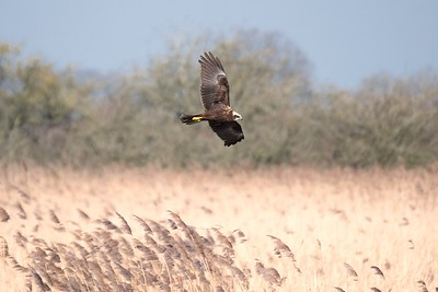Marsh Harrier at Otmoor 25 Feb 2018