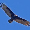Turkey Vulture.