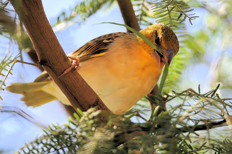 IMG_3521 Yellow Bird 11.2018 Grass weaver.jpg