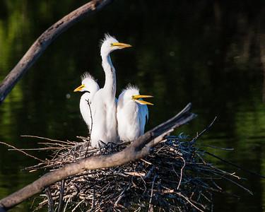 Great Egret, Arda alba