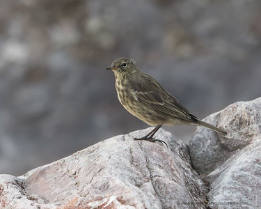 Rock Pipit on the Rocks