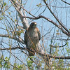 Red-tailed Hawk Among Twigs