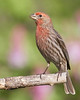 Proud to be a House Finch