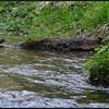 Water Ouzel ~ Cinclus mexicanus