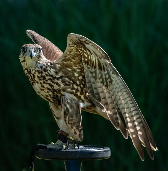Saker Falcon pose