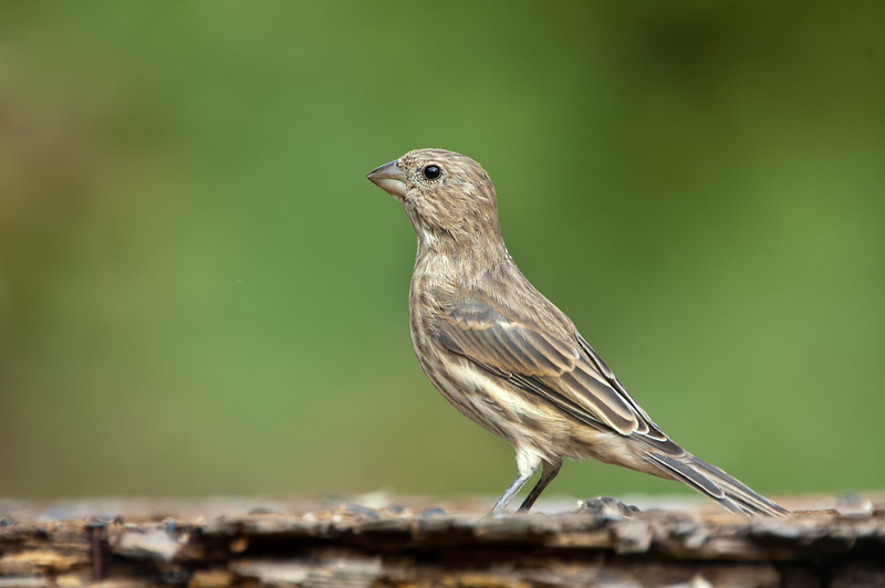 Immature Purple Finch - Cartwright, Manitoba