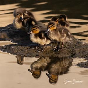 Mallard ducklings, Dorset