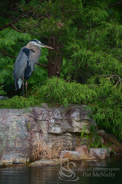 Great Blue Heron  Bird
