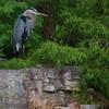 Great Blue Heron  Bird Picture
