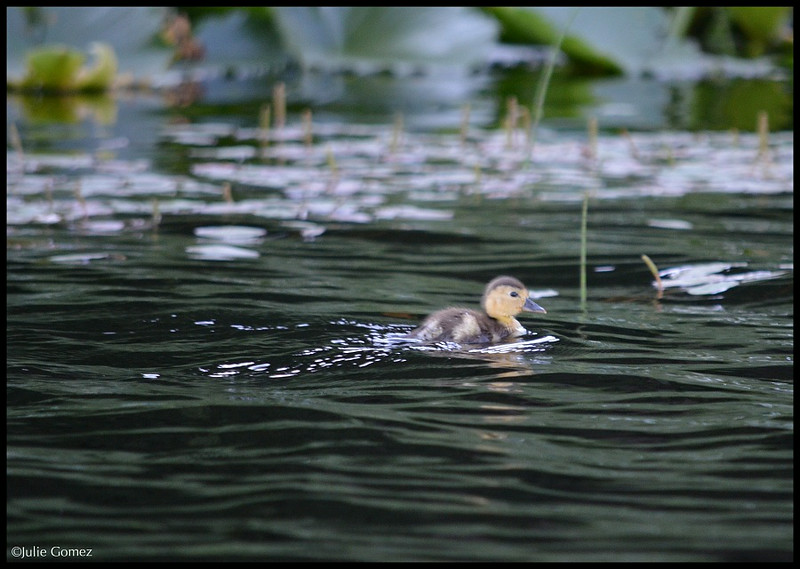Ring-necked Duckling