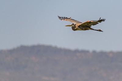 Great Blue Heron in Flight 2
