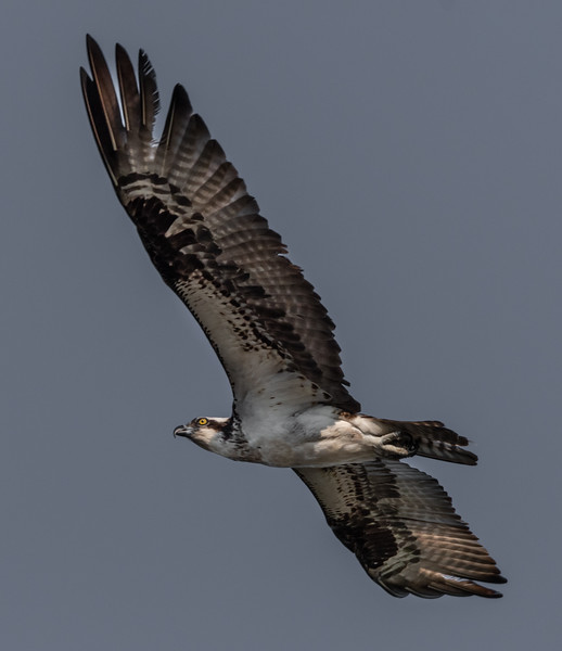Osprey Fly Over
