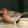 Handsome House Finch