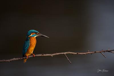 Common Kingfisher, Dorset