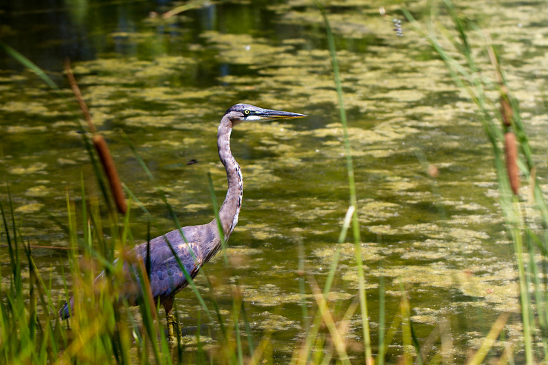 Blue Heron in South Pond