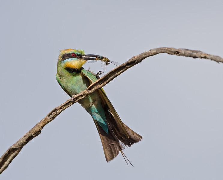 Rainbow Bee-eater with Cicada, Federation Walk, Gold Coast, Queensland.