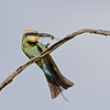 Rainbow Bee-eater with Cicada, Federation Walk, Gold Coast, Queensland.