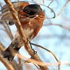 An American Robin Preening After a Bath