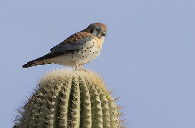 Kestrel on a cactus looking for breakfast