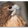 Up, close and Personal with a Red Tailed Hawk
