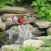Cardinalis cardinalis – Northern cardinal - in pond 5