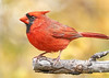 Male Cardinal in fall