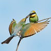 Rainbow Bee-eater Exchanging Food, Federation Walk, Gold Coast, Queensland.