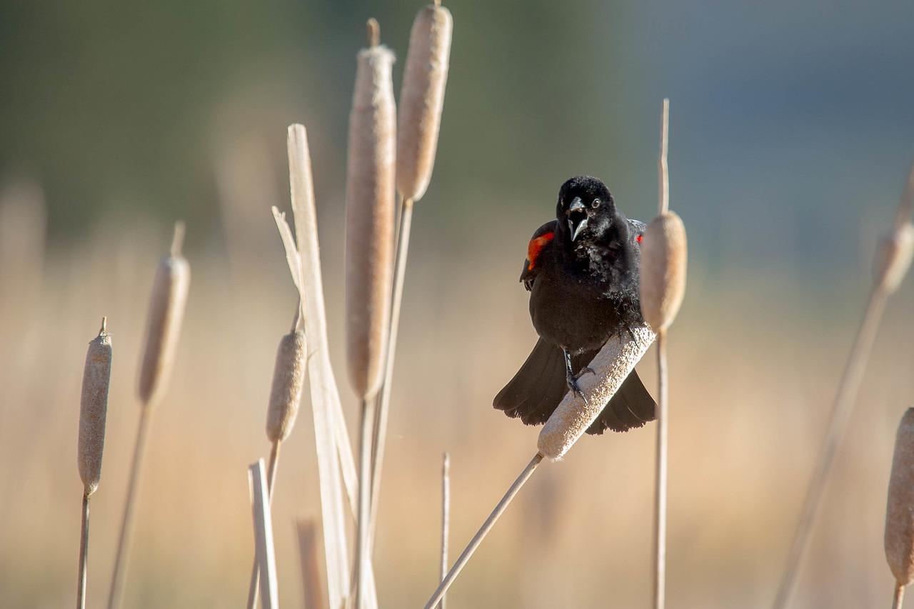 IMAGE: https://photos.smugmug.com/Birds/i-RrpPLCk/0/17f93f0b/X2/AO0O6616-X2.jpg