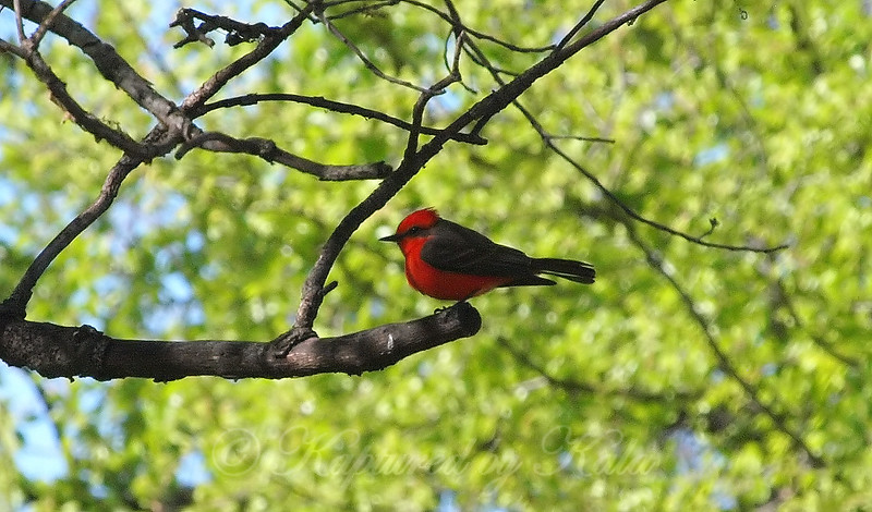 Vermilion Flycatcher Perched On A Branch