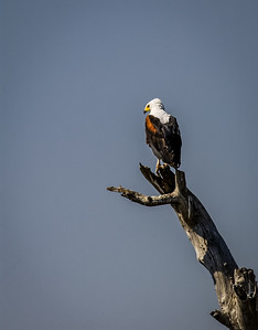 Fish Eagle Scouting