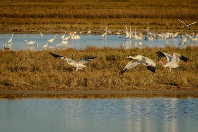 Whooping Crane family taking off in Aransas Wildlife Refuge, Texas.