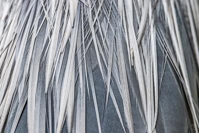 Great blue heron feather closeup