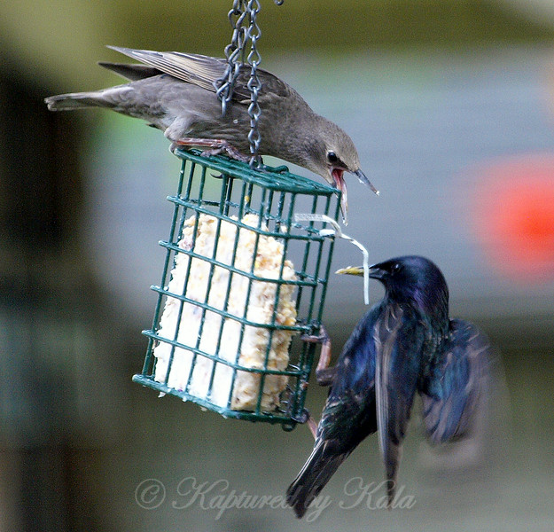 Juvenile Starling Trying to Scare Away an Adult Starling