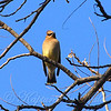 Blue Skies And Waxwings View 1
