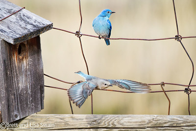 Mama Bluebird Works the Nest