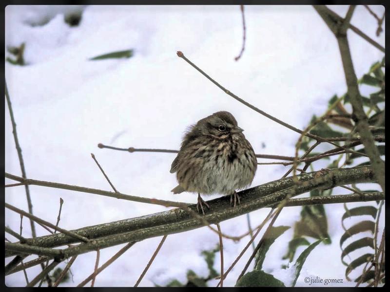 Song Sparrow ~ Melospiza melodia