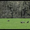 Wild Turkeys—(Meleagris gallopavo)