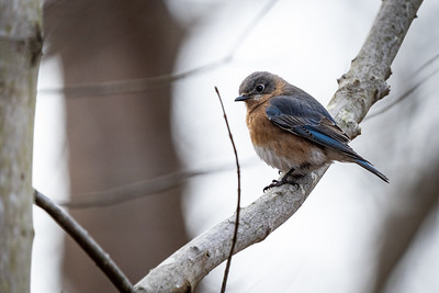 Eastern Bluebird at Fred Crabtree Park