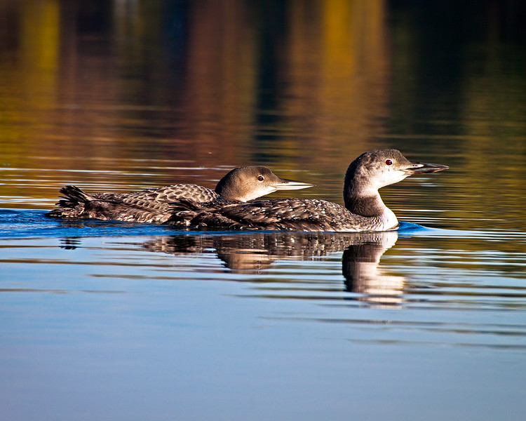 Fall Colors Loons