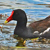 Common Moorhens feeding.
