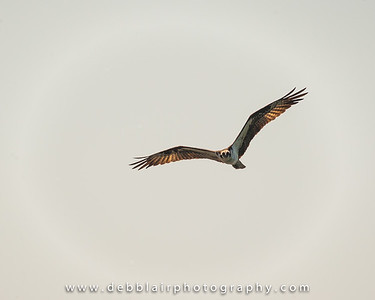 Osprey heading right over me