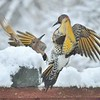 Female and Male Northern Flicker