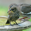 Bath Time For Baby Cowbird