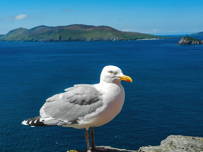Irish Gull