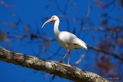 White Ibis in Louisiana Bayou