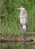 Great Bllue Heron in the marsh