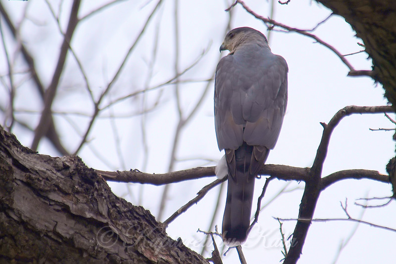 Male Cooper's Hawks Are Blueish Gray On Their Backs